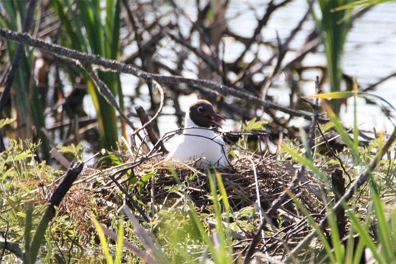Wędrówki z ptakami - śmieszka na Kaszubach