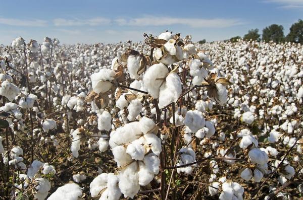Bawełna organiczna – czym jest i dlaczego warto kupować z nią ubrania, czym różni się od zwykłej bawełny?