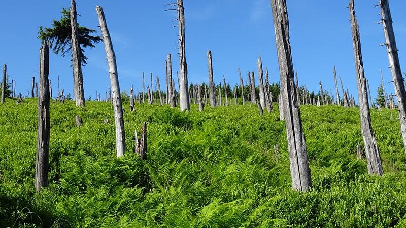 Rosnie nowy las w miejscu zniszczonego