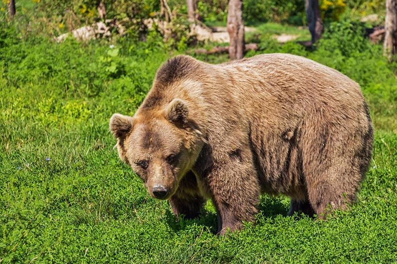 Niedźwiedź brunatny - król Tatr