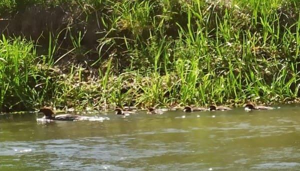 spływ kajakowy radunią